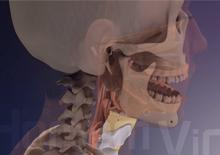 Anatomia da laringe
